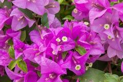Pinks blom- makro Royaltyfria Foton