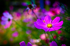 Pinks cosmos flowers Royalty Free Stock Photography