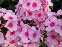 Pinks Flocks Flowers in Battery Park. Royalty Free Stock Photography