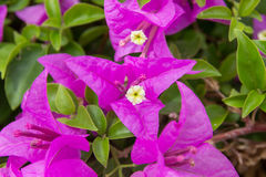 Pinks floral μακροεντολή Στοκ φωτογραφίες με δικαίωμα ελεύθερης χρήσης