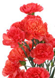 Pinks flower (Dianthus caryophyllus) Royalty Free Stock Photos