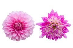 Pinks flower isolated on white background with clipping path Stock Image