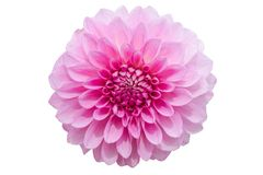 Pinks flower isolated on white background with clipping path Royalty Free Stock Images