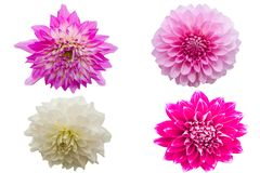 Pinks flower isolated on white background with clipping path Royalty Free Stock Image