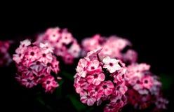 Pinks Stock Photo