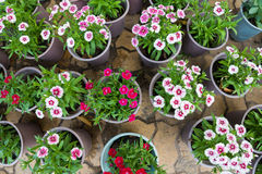 Pinks in pots, top view Royalty Free Stock Photography