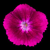 Pinks purple dianthus wild flower  on black Royalty Free Stock Image