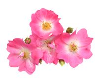 Pinks rose Royalty Free Stock Photography