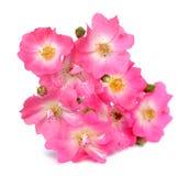 Pinks rose Royalty Free Stock Image