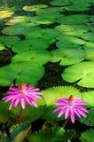 Pinks tegen greens stock foto's