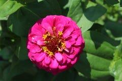 Pinks Zinnia Lizenzfreies Stockbild