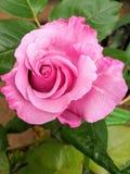 Pinksinno Imagem de Stock