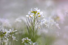Pinksterbloem knäpp blomma, Cardaminepratensis fotografering för bildbyråer