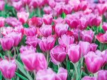 Pinkstulpan i trädgården royaltyfria foton
