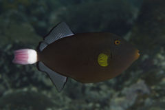 Pinktail triggerfish Royaltyfri Foto
