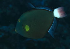 Pinktale triggerfish Royalty Free Stock Photos