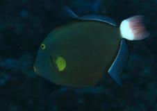 Pinktale Triggerfish Lizenzfreie Stockfotos