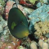 Pinktale triggerfish Fotografering för Bildbyråer