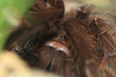 Pinktoe goliath tarantula. The detail of pinktoe goliath tarantula Royalty Free Stock Photo