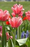 PinkTulips della primavera Fotografia Stock Libera da Diritti