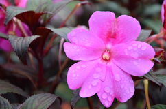 Pinky цветения цветка в утре Стоковое Фото
