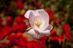 Pinky цветок на зеленом злаковике Стоковое фото RF