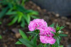 Pinky цветок Стоковое фото RF