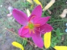 Pinky цветок Стоковая Фотография