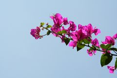 Pinky Bunch. Bunch of pink bougainvillea flowers isolated on blue sky Royalty Free Stock Photo