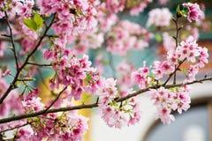 Pinky Cherry blomning Arkivfoto