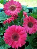 Pinky Gerberas Royalty-vrije Stock Afbeelding