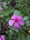 Pinky kwiat Zdjęcia Royalty Free