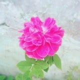 Pinky kwiat Zdjęcie Royalty Free