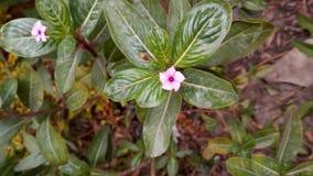 Pinky kwiaty Fotografia Royalty Free