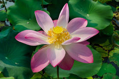 Pinky Lotus Fotografia de Stock Royalty Free