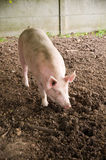 Pinky pork. A lovely pinky pork in Ferme Georges-Ville, bois de Vincennes Paris Royalty Free Stock Photography