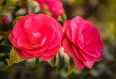 Pinky red camellia flowers blooming during March in the UK stock photo