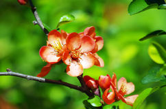 Pinky red quince flower. Royalty Free Stock Image