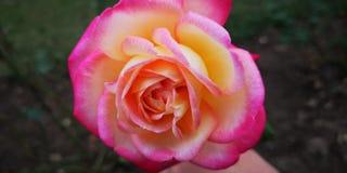 Pinky rose stock photo