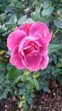 Pinky Rose Stock Photos