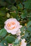 Pinky Rose Royalty Free Stock Image