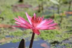Pinky Waterlily Fotografia Stock