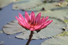 Pinky Waterlily Royalty Free Stock Image