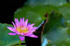 Pink Lotus. With yellow pollen in the pond. It's tthe sign of respect to buddha for buddhist in buddhism Stock Images