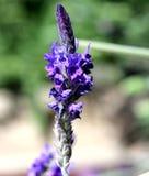 Pinnata de Lavandula, lavande déchiquetée, Fern Leaf Lavender Photographie stock libre de droits