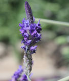 Pinnata Lavandula, οδοντωτό Lavender, Lavender φύλλων φτερών Στοκ εικόνα με δικαίωμα ελεύθερης χρήσης