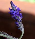 Pinnata Lavandula, οδοντωτό Lavender, Lavender φύλλων φτερών Στοκ Εικόνες