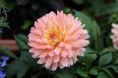 Pinnata rose Cav de dahlia dans le jardin Photographie stock