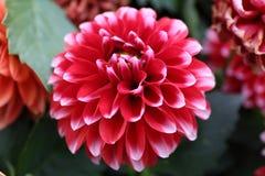 Pinnata rouge Cav de dahlia dans le jardin Photos libres de droits