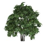 Pinnata Staphyella дерева Стоковые Изображения RF